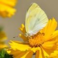 写真: 黄に染まる