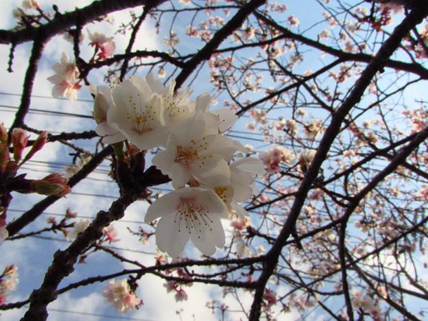 写真: 特攻桜
