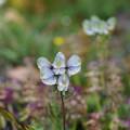 Photos: キンポウゲ科の高山植物