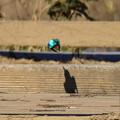 写真: カワセミの影