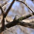 写真: 小啄木鳥