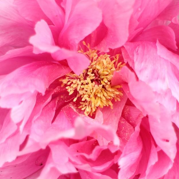 Photos: 冬牡丹