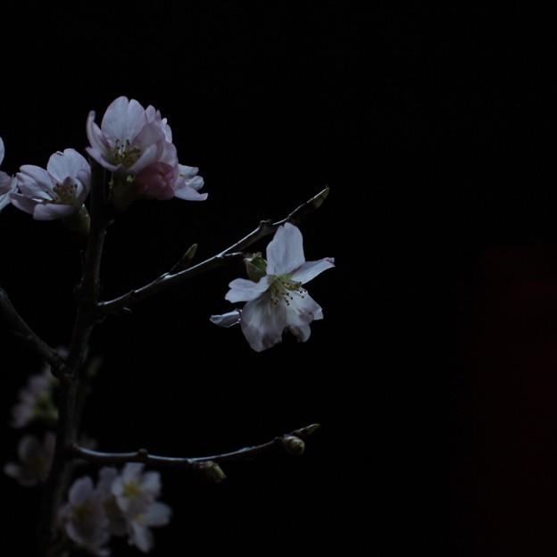 写真: 夜桜ふう
