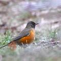 地味目な冬鳥-1