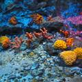 写真: 珊瑚