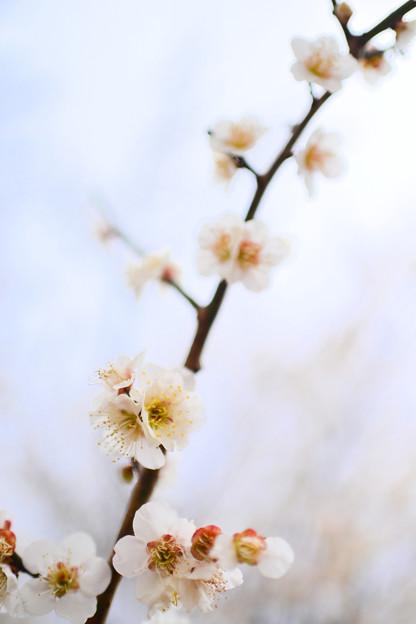 Photos: 梅三昧