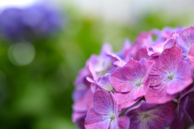 Photos: あじさいが咲き始めました