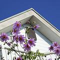 Photos: 白い家と花