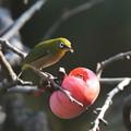 写真: 柿とメジロ(3)FK3A1992