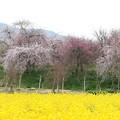 菜の花畑と梅林 FK3A5973