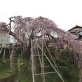 写真: 若樫の枝垂れ桜(1)IMG_1785