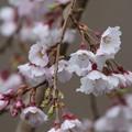 写真: 若樫の枝垂れ桜(3)FK3A8345