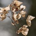 写真: 冬のアジサイ