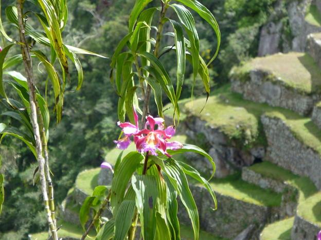 マチュピチュのランの花