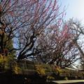 写真: 道すがら_梅の花