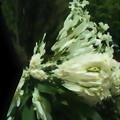 写真: 花の獅子-01