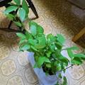 _160816 052 モロヘイヤの鉢植え