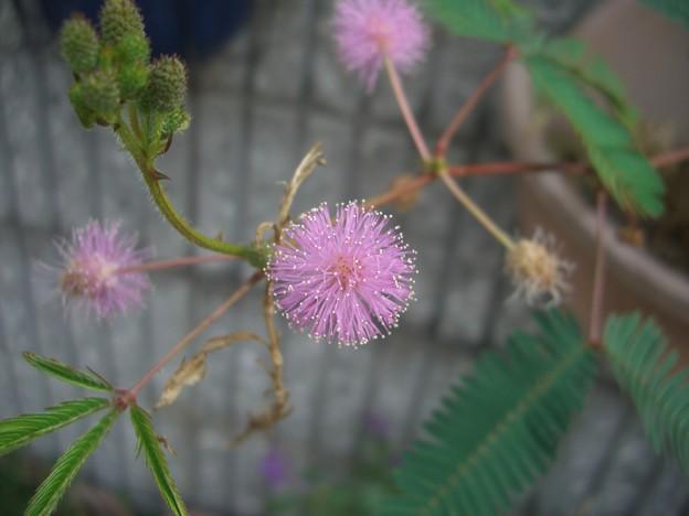 オジギソウの花EX-Z1000? 5653