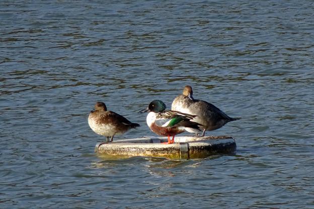 浮棚 に3羽