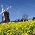 風車と菜の花
