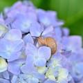 かたつむり~紫陽花