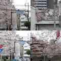 写真: 桜