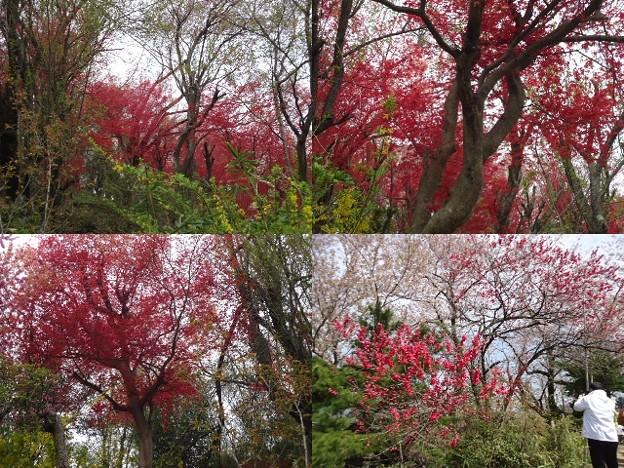 写真: 花見山公園赤