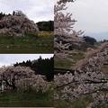 写真: 中島の地蔵桜