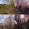 写真: 花見山