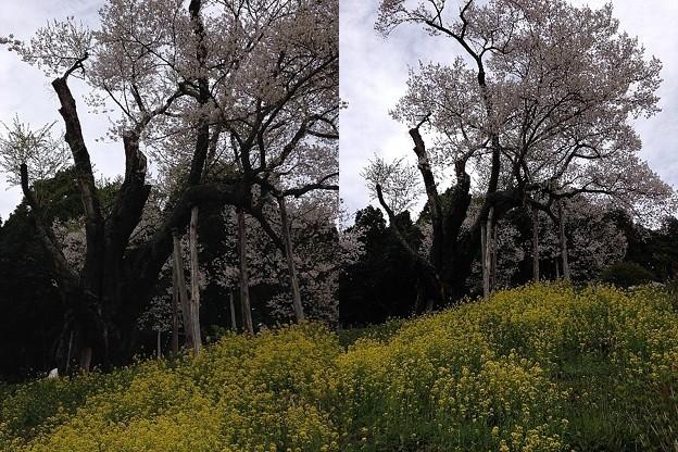 写真: 樹齢800年