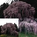 写真: 合戦場の桜