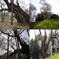 写真: 東和祭田の桜