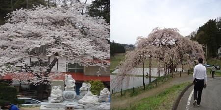 中島の地蔵桜2