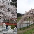写真: 中島の地蔵桜2