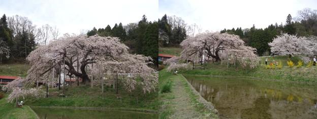 写真: 中島の地蔵桜3