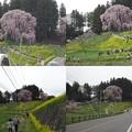 合戦場の桜
