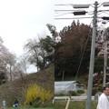写真: 福田寺の桜