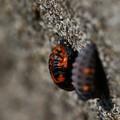 テントウムシ蛹