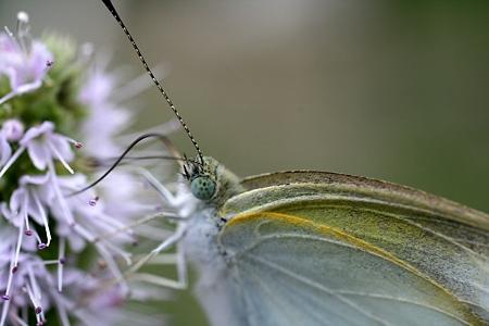 ミントに来た虫 蝶