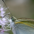 Photos: ミントに来た虫 蝶