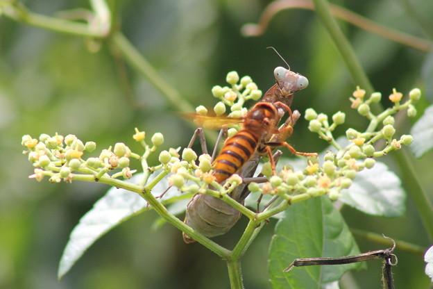 キイロスズメバチの特攻攻撃
