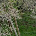 IMGP9675 高山市の臥龍桜その2