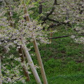 Photos: IMGP9675 高山市の臥龍桜その2