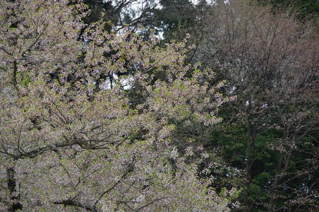 Photos: IMGP9679 高山市の臥龍桜その3