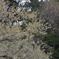 IMGP9679 高山市の臥龍桜その3
