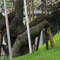 Photos: IMGP9684 高山市の臥龍桜その4
