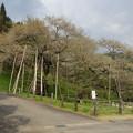 IMGP9706 高山市の臥龍桜その5