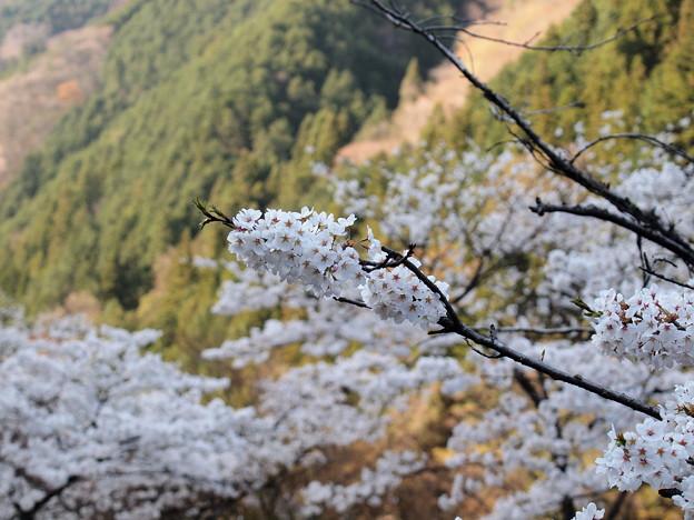 P4160308 中山七里の桜その20