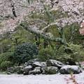 写真: 桜吹雪:散り桜19
