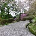写真: 散り桜18